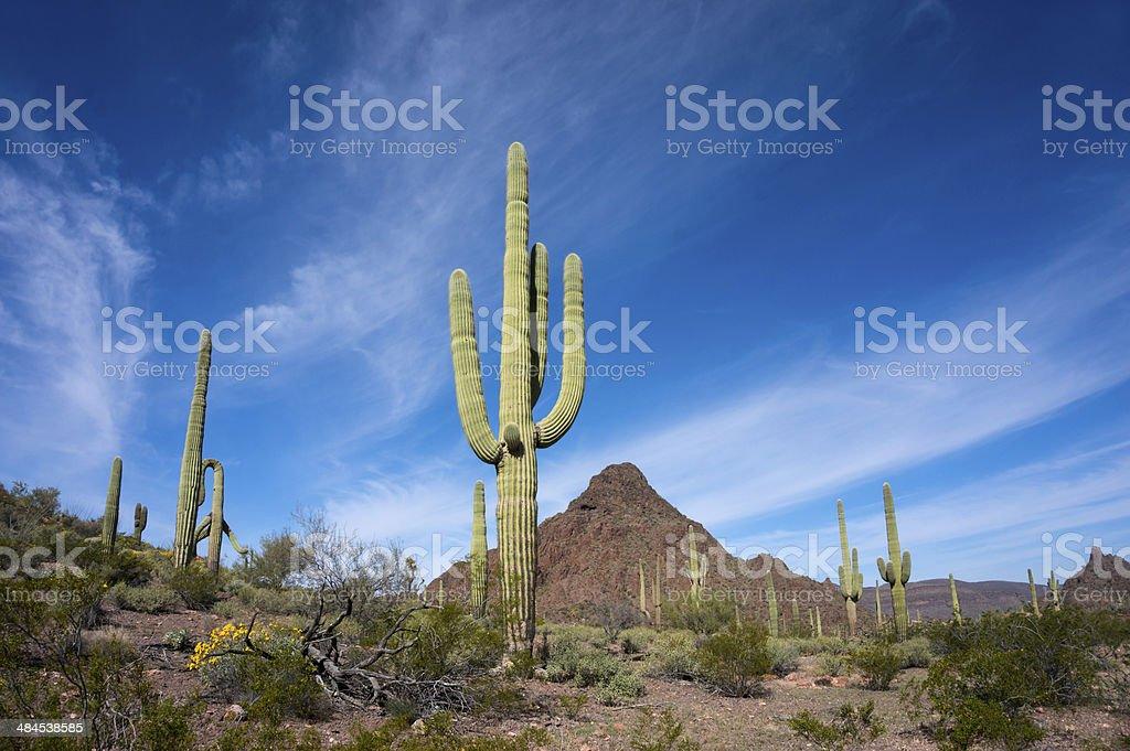Saguaros in Organ Pipe National Monument royalty-free stock photo