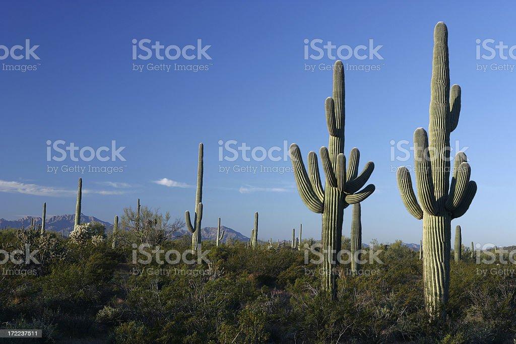 Saguaros royalty-free stock photo