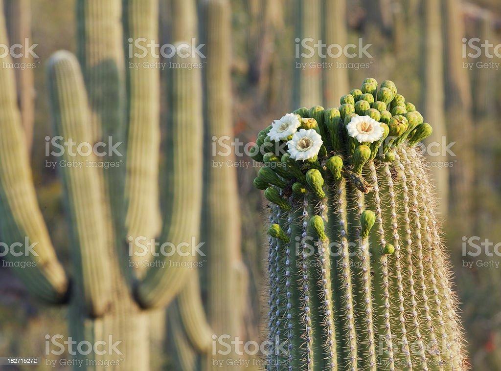Saguoaro Cactus Bloom stock photo