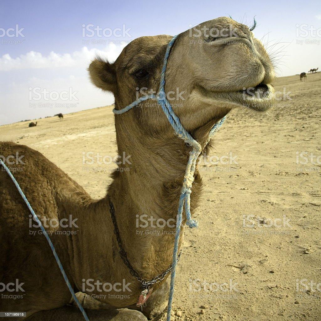 sahara camel stock photo