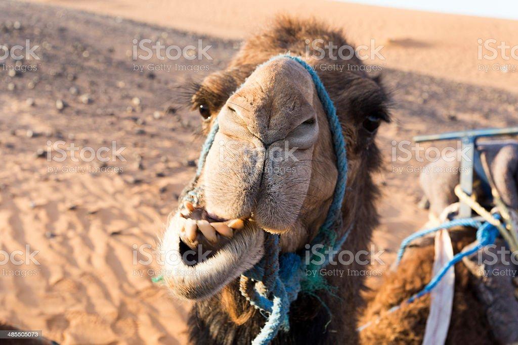 sahara camel royalty-free stock photo