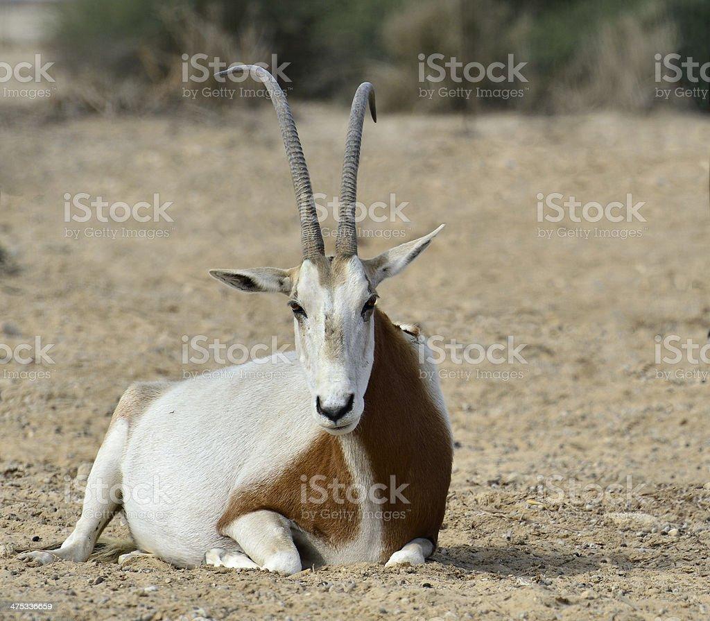 Sahara scimitar antelope in nature reserve stock photo
