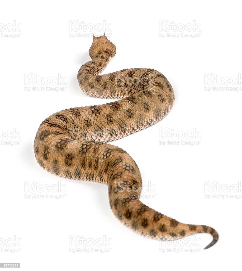Saharan horned viper, studio shot stock photo