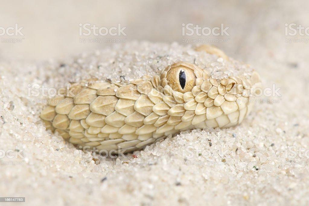 Saharan sand viper / Cerastes vipera stock photo