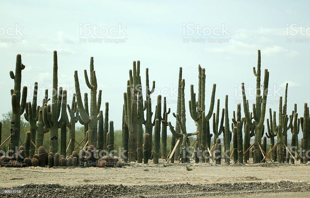 Sahuaro Cacti royalty-free stock photo