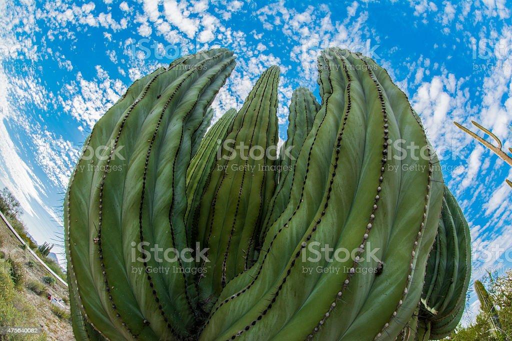 Sahuaros Desierto de Sonora detalle stock photo