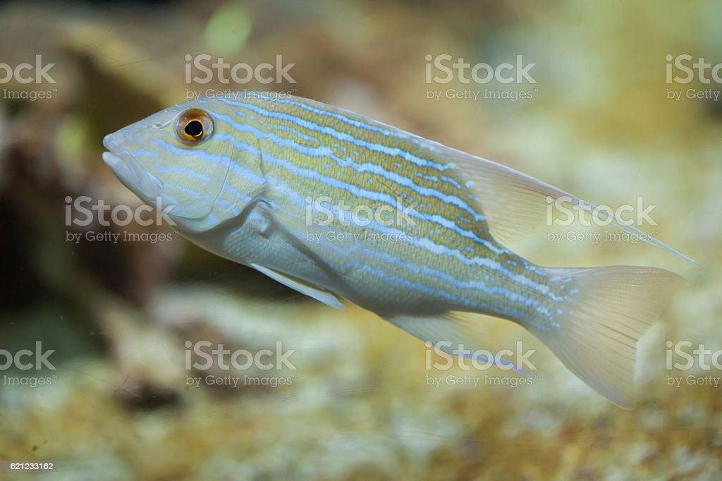 Sailfin snapper (Symphorichthys spilurus). stock photo