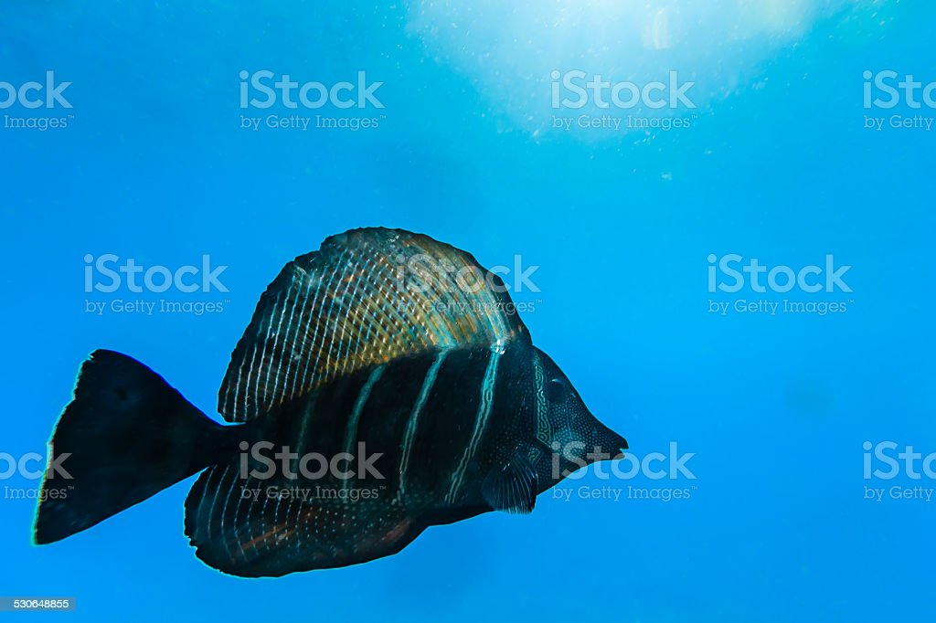 Sailfin Tang Fish in Clear Water in Rangiroa stock photo