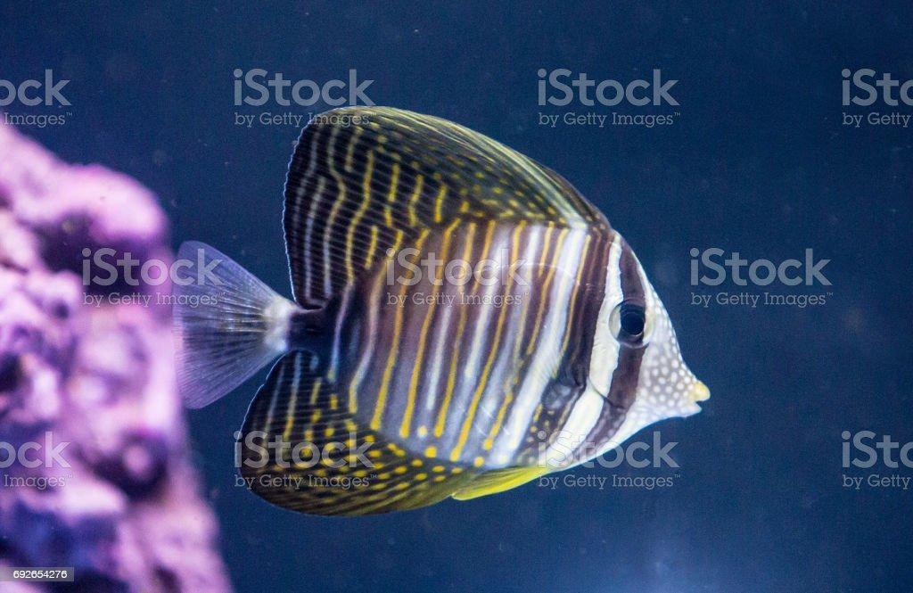 Sailfin Tang fish stock photo