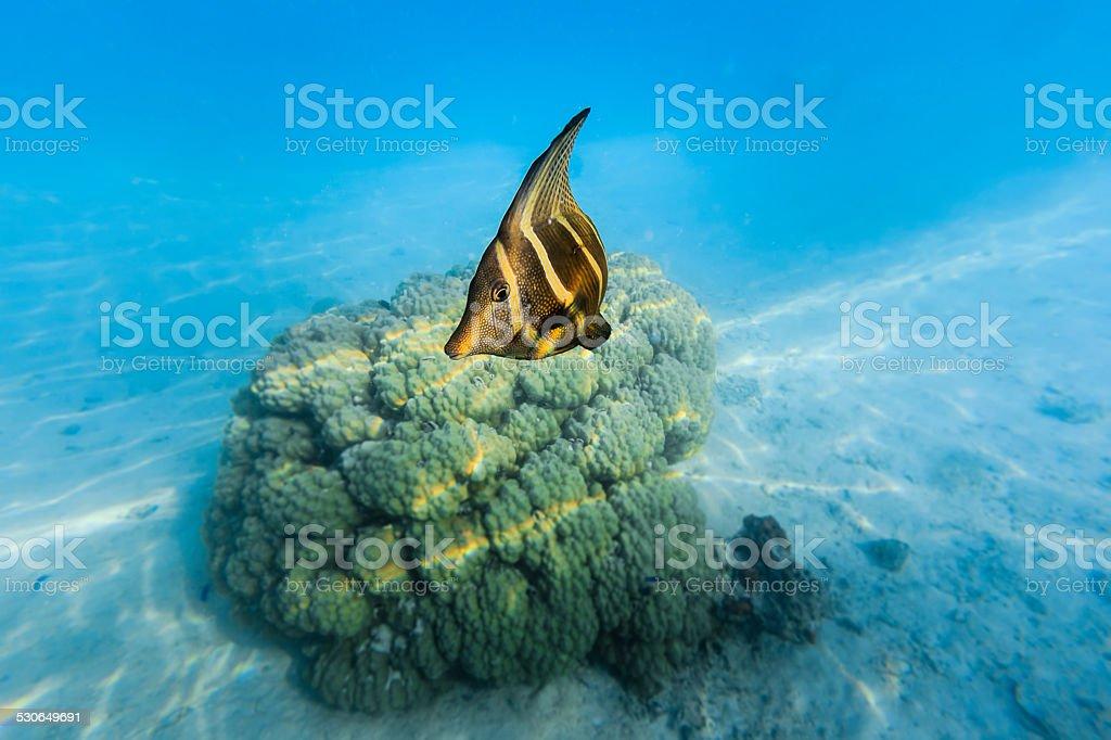 Sailfin Tang Fish Turning to Camera stock photo
