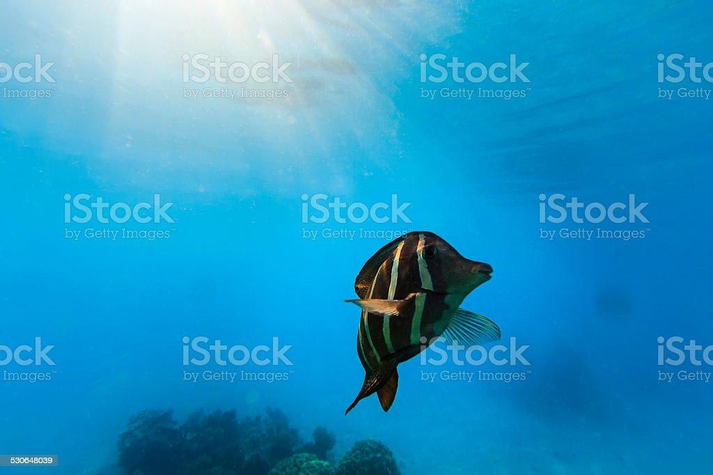Sailfin Tang Fish Under Light Sunburst in Rangiroa, French Polynesia stock photo
