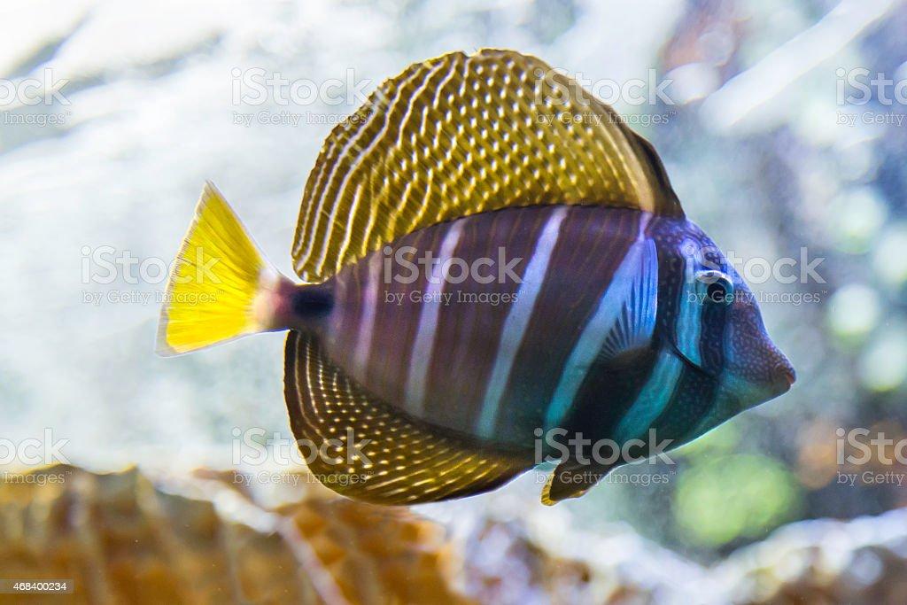 Sailfin tang (Zebrasoma veliferum) stock photo