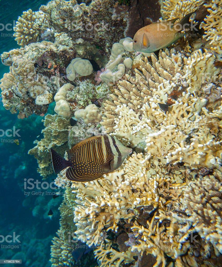 Sailfin tang - zebrasoma desjardinii stock photo