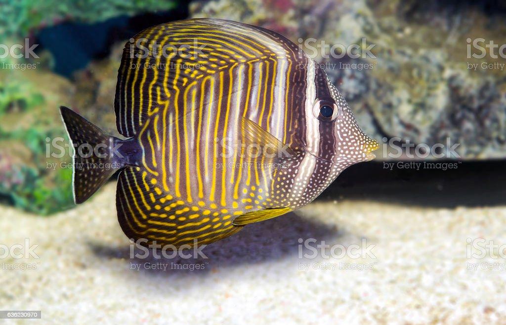 Sailfin tang (Zebrasoma veliferum) Zebrasoma desjardinii stock photo