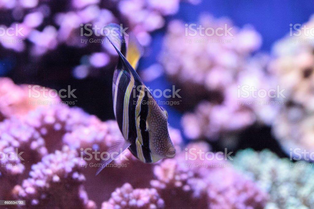 Sailfin tang Zebrasoma veliferum stock photo