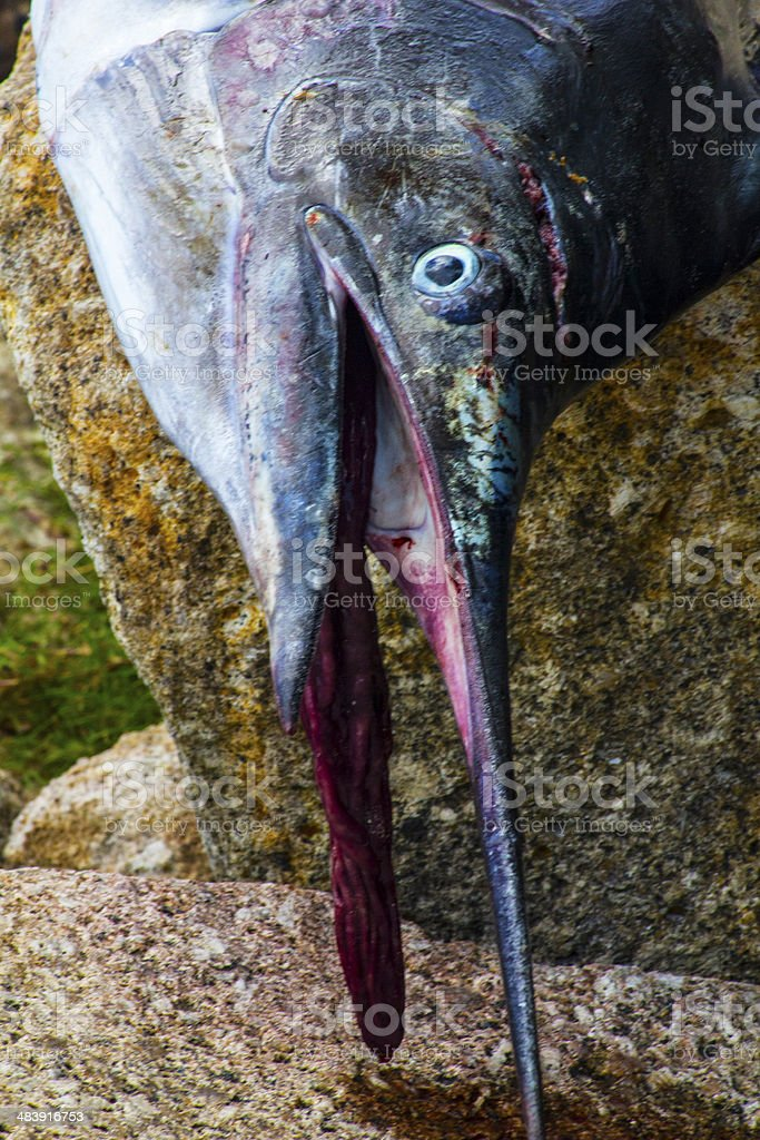Sailfish face macro closeup stock photo