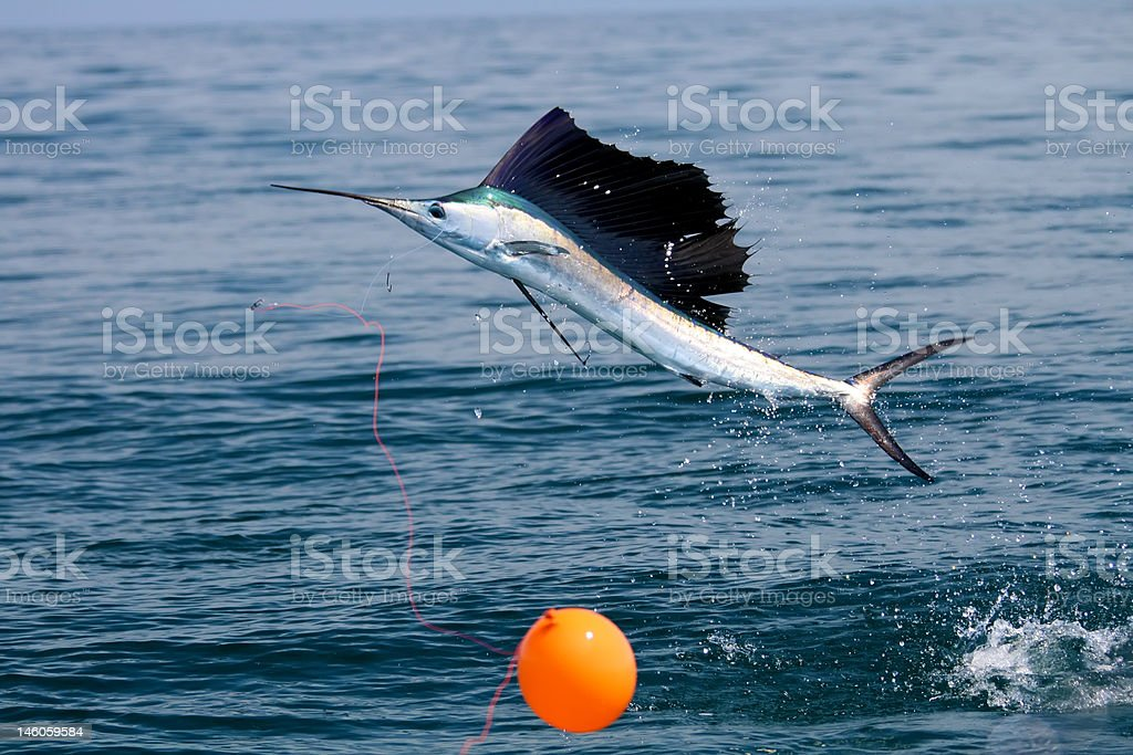 Sailfish Leaping stock photo