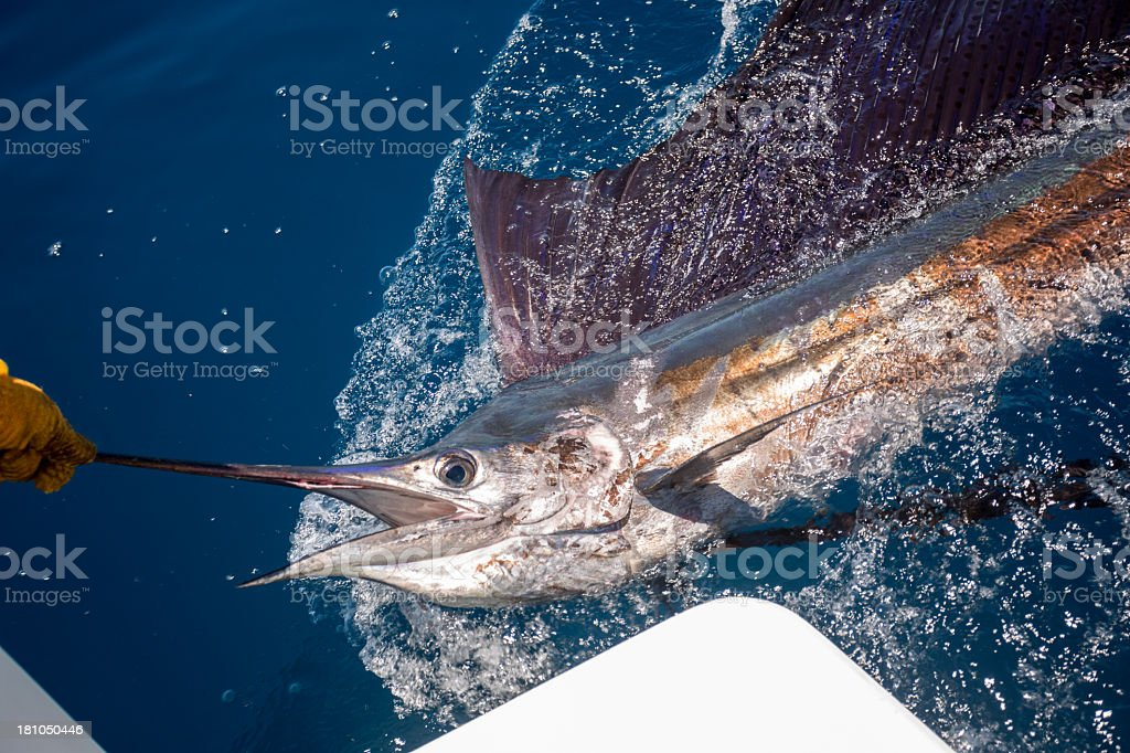 Sailfish stock photo