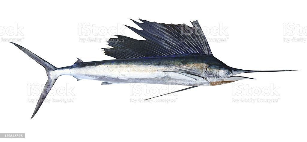 Sailfish real fish isolated on white royalty-free stock photo