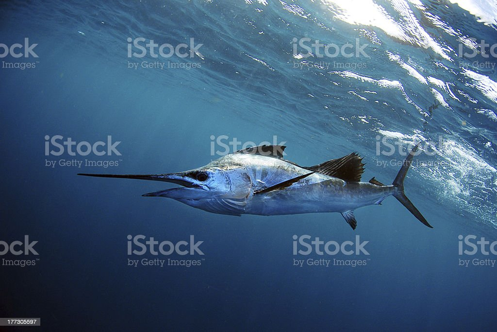 Sailfish underwater in blue water stock photo