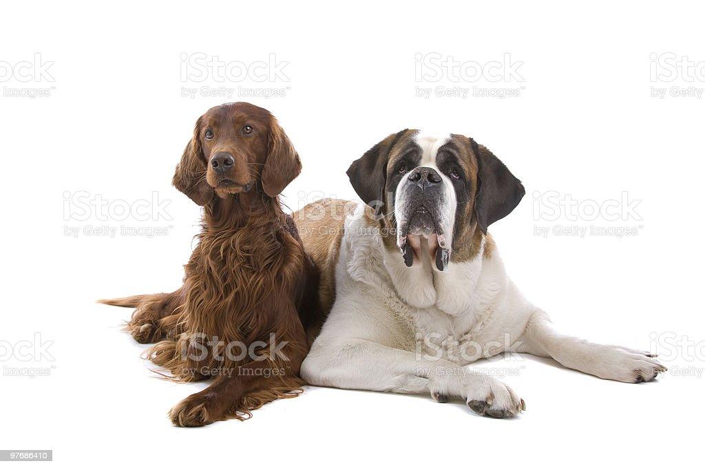 Saint Bernard and a Irish Setter dog royalty-free stock photo