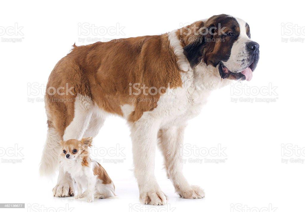 Saint Bernard and chihuahua stock photo