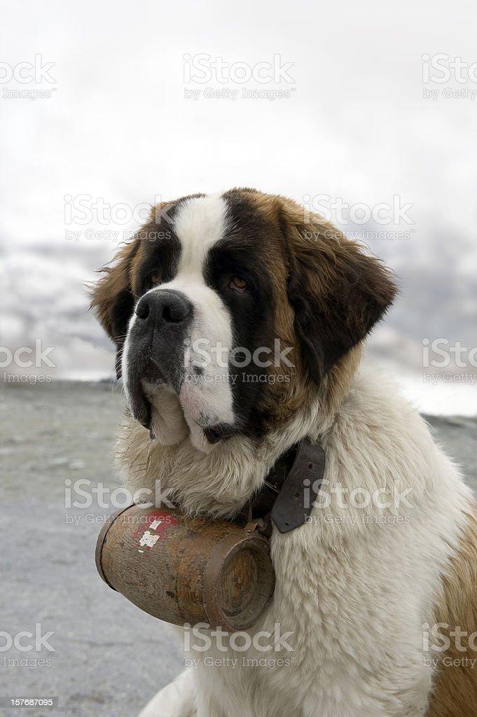 Saint Bernard dog stock photo