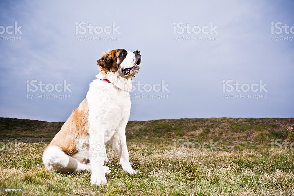 Saint Bernard Dog stock photo