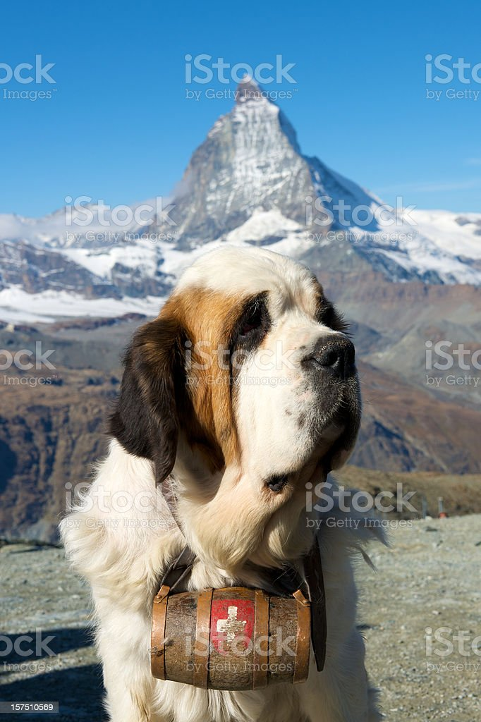 Saint Bernard dog with Matterhorn stock photo