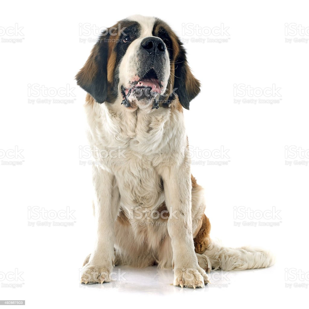 Saint Bernard stock photo