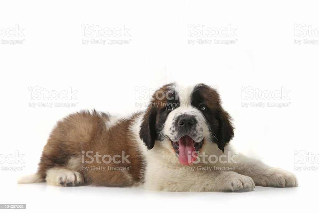 Saint Bernard Puppy Lying on His Stomach Against White Background stock photo