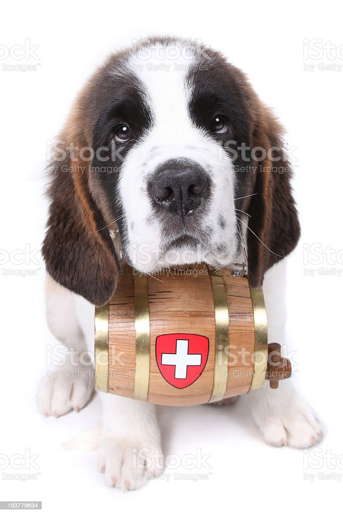 Saint Bernard puppy with a rescue barrel around the neck stock photo