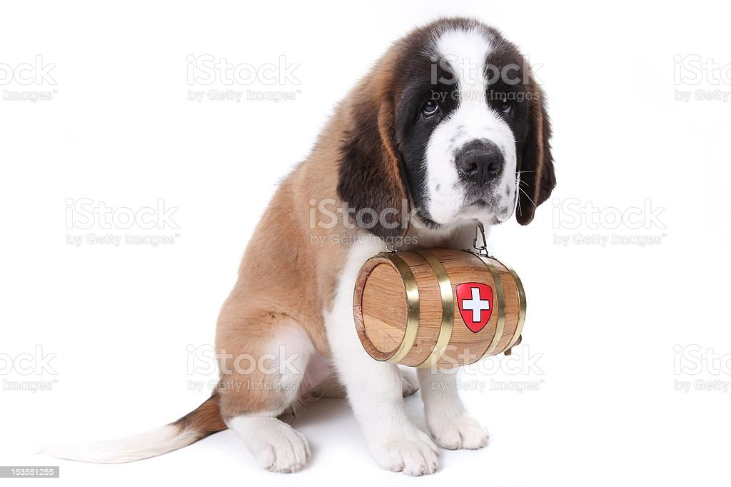 Saint Bernard puppy with a rescue barrel around the stock photo
