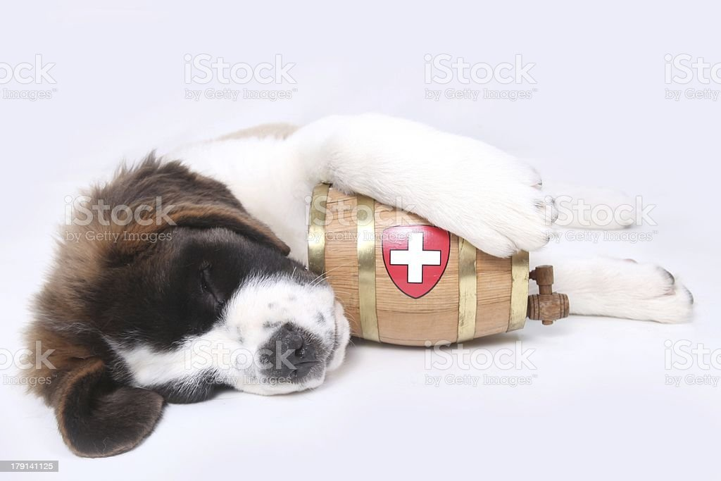 Saint Bernard puppy with a rescue barrel knocked out sleeping royalty-free stock photo