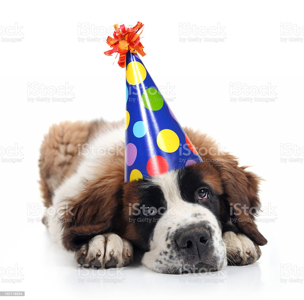 Saint Bernard Unhappy About His Birthday royalty-free stock photo