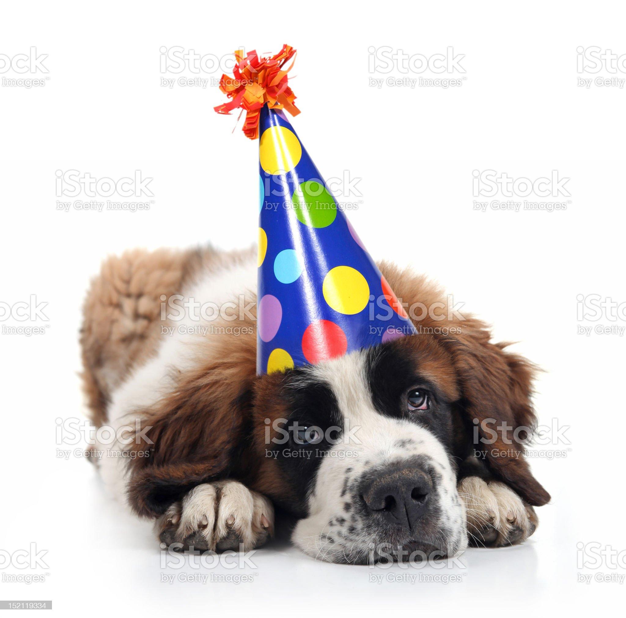 Saint Bernard Unhappy About His Birthday royalty-free stock photo