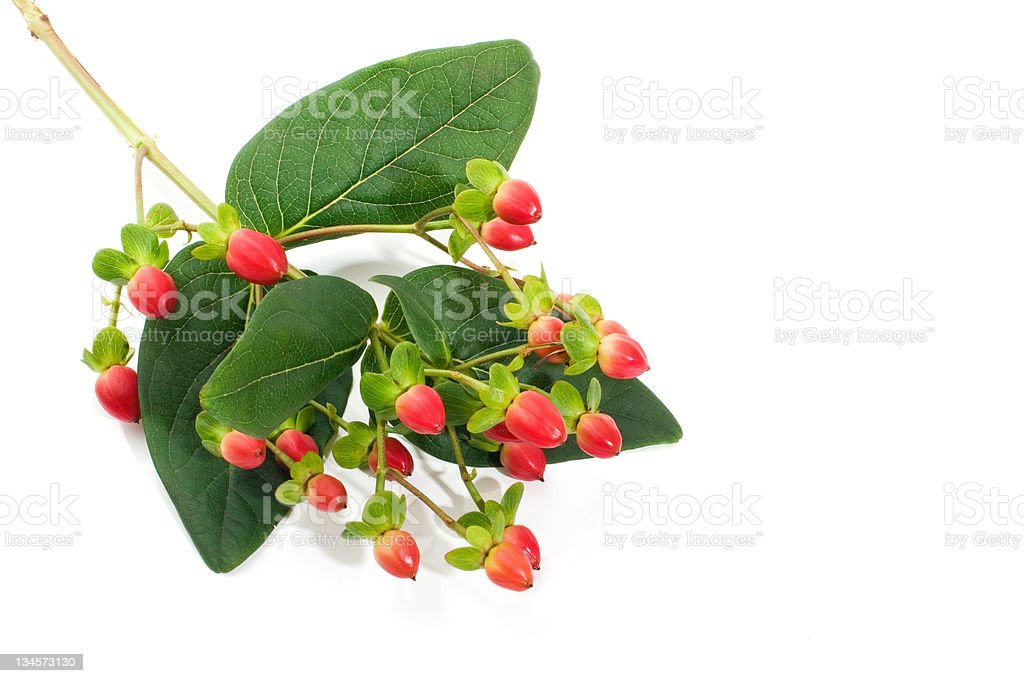 Saint John?s Wort berries royalty-free stock photo
