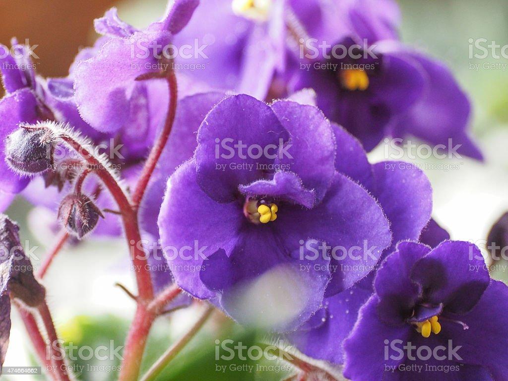 Saintpaulia flower stock photo