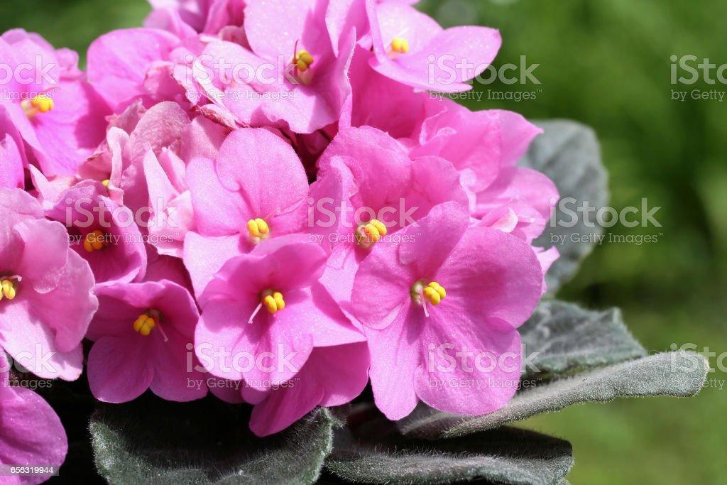 Saintpaulias (African violets, Saintpaulia ionantha) stock photo