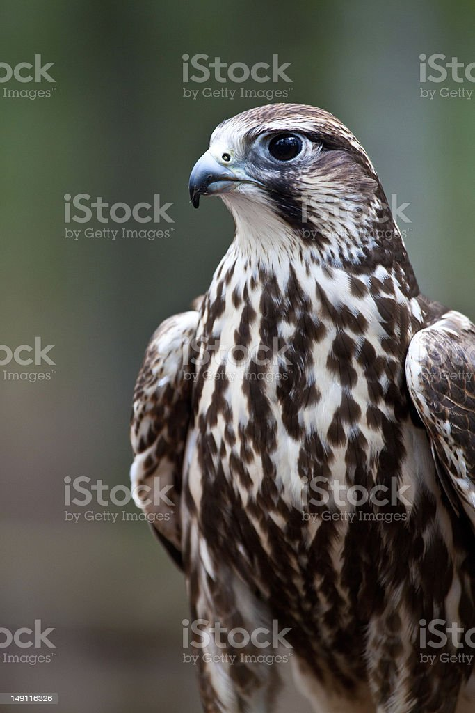 Saker Falcon stock photo