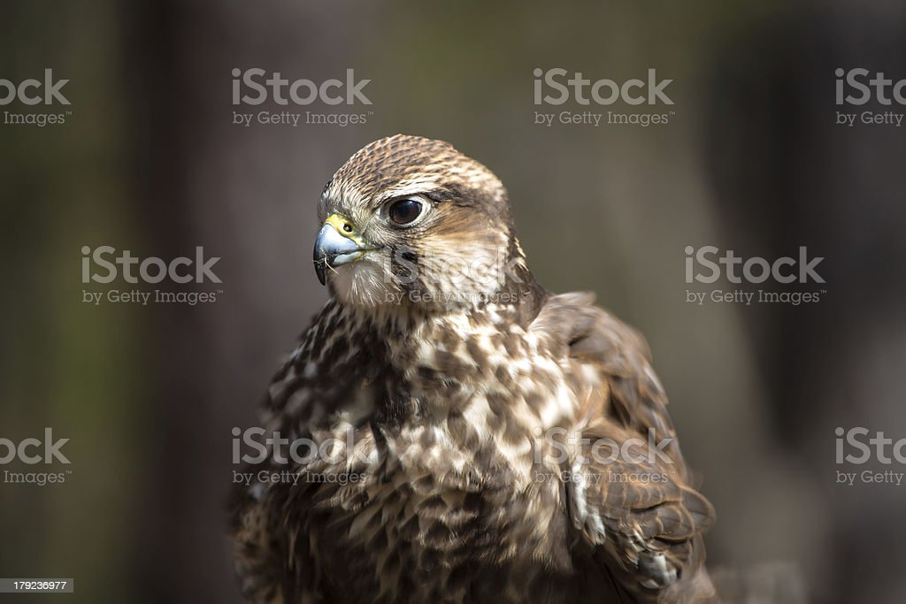 Saker Falcon royalty-free stock photo