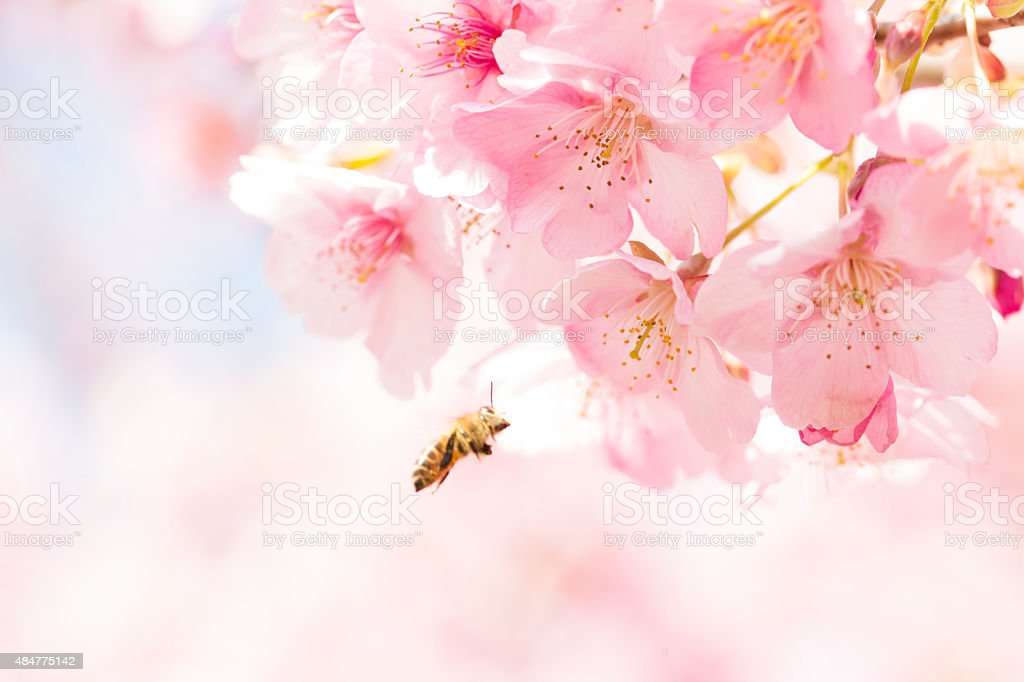 Sakura and Japan bees stock photo