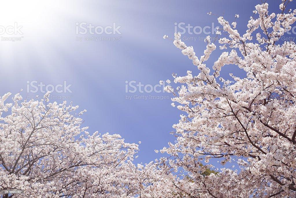 Sakura and sunlight royalty-free stock photo