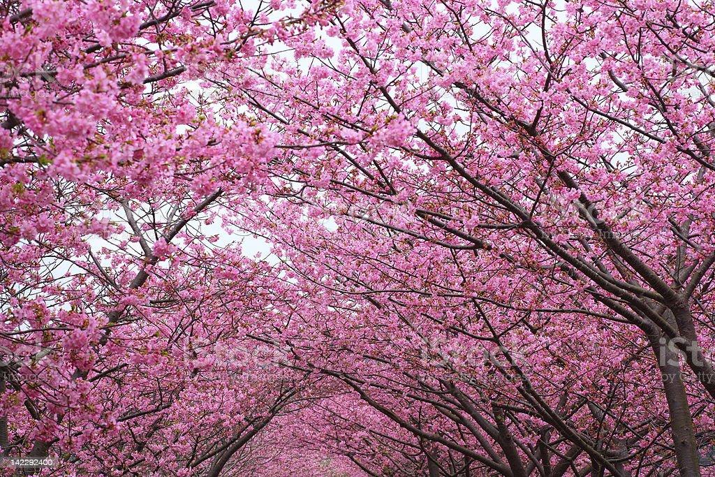Sakura arch royalty-free stock photo