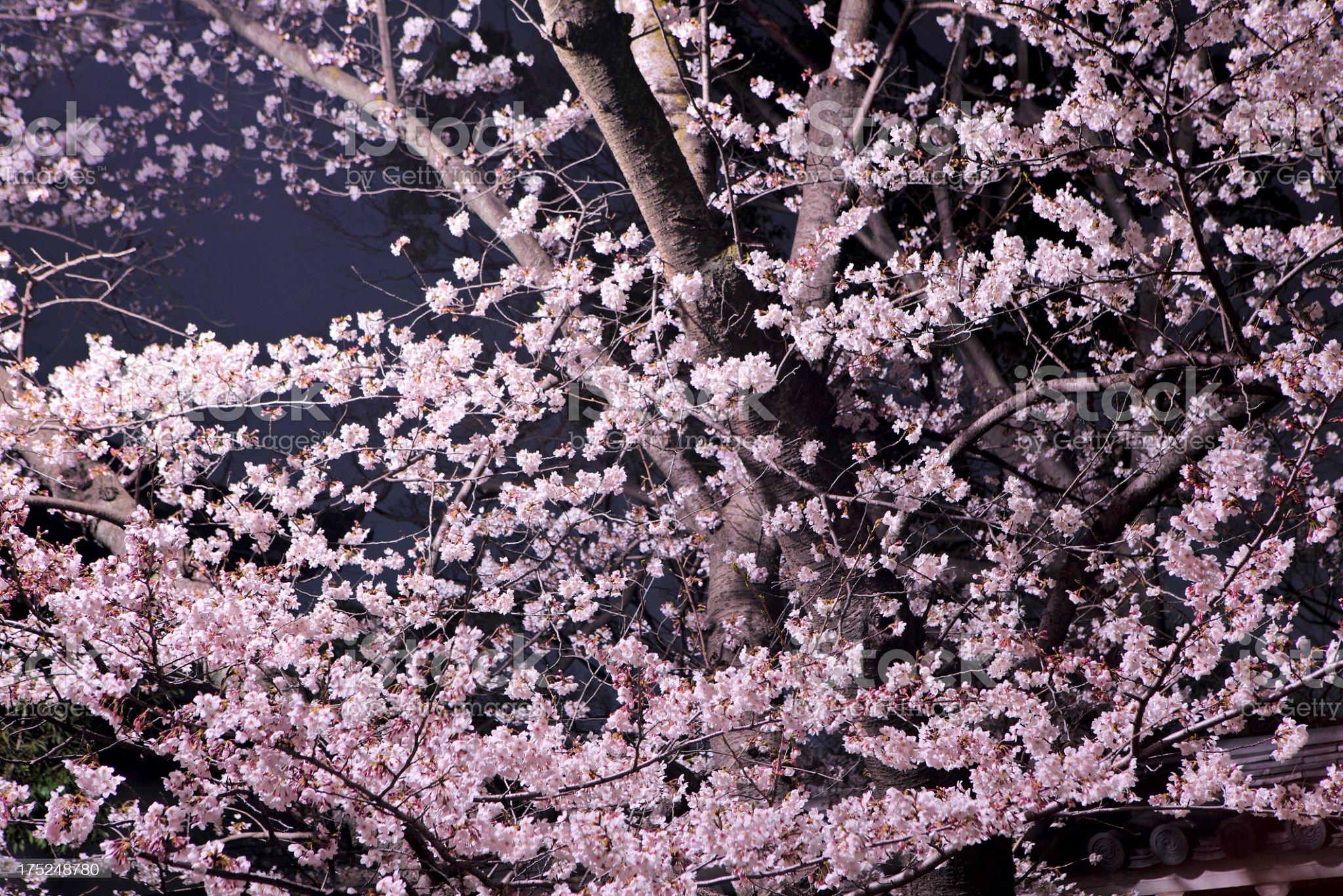 sakura at night royalty-free stock photo