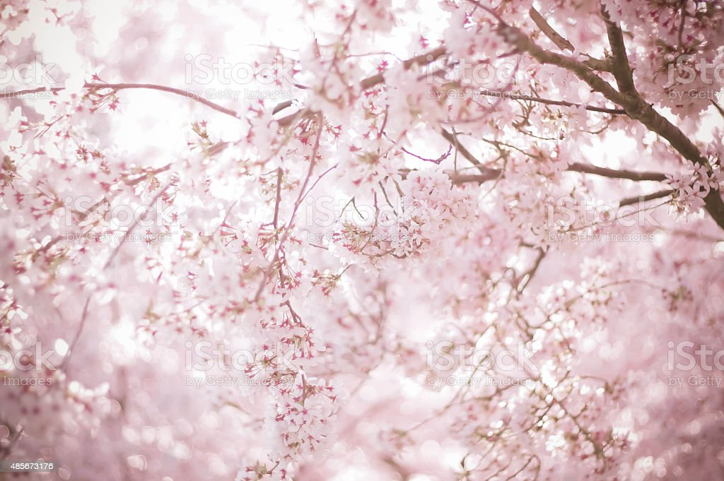 sakura background stock photo