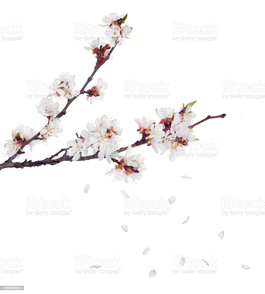 sakura blooms on dark branches and falling petals stock photo