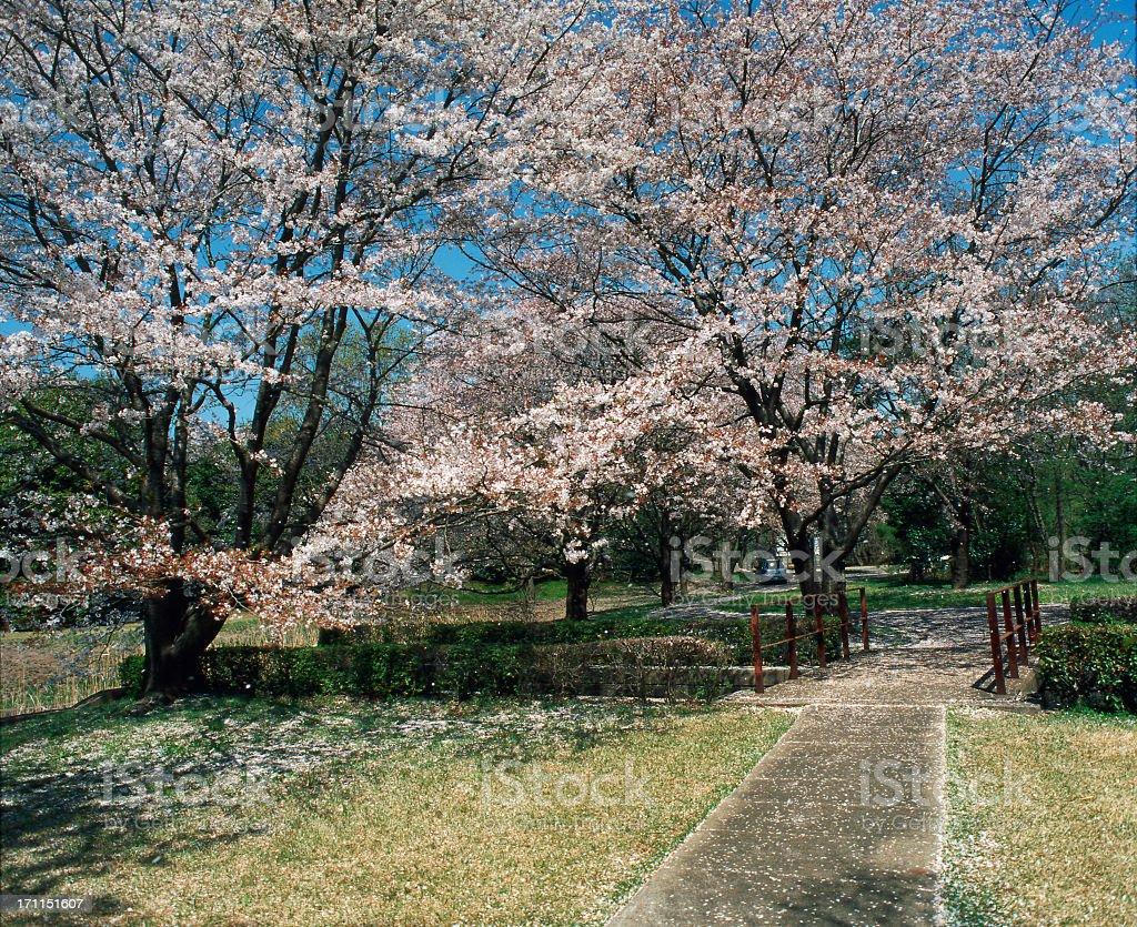 Sakura blossom Lizenzfreies stock-foto