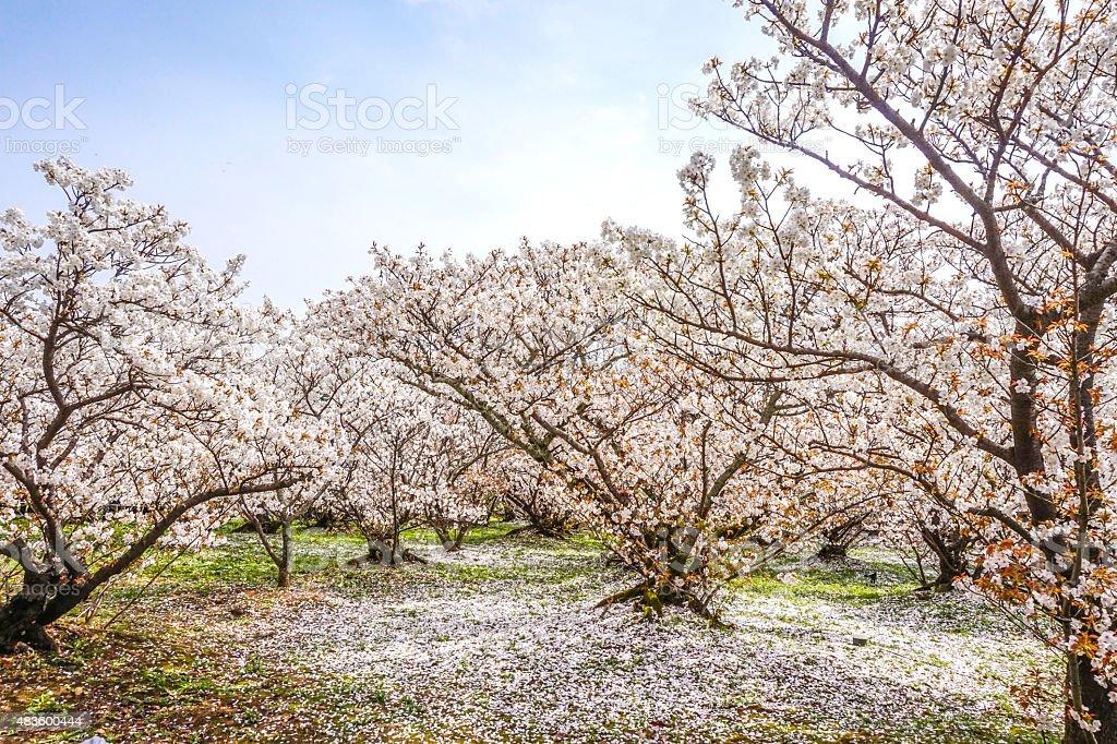 Sakura blossom Spring Foliage royalty-free stock photo