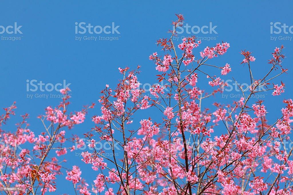 Sakura, blue sky,Chiangmai,North Thailand. stock photo